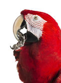 Close-up of a Red-and-green macaw cleaning itself, isolated on w — Stock Photo