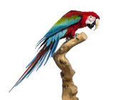 Red-and-green macaw perched on a branch, isolated on white — Stock Photo