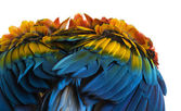 Close-up on a Scarlet Macaw feathers (4 years old) isolated on w — 图库照片
