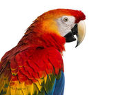 Close-up of a Scarlet Macaw (4 years old) isolated on white — Foto Stock
