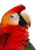 Close-up of a Scarlet Macaw (4 years old) isolated on white — Stock Photo