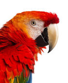 Close-up of a Scarlet Macaw (4 years old) isolated on white — ストック写真