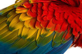 Close-up on a Scarlet Macaw feathers (4 years old) isolated on w — ストック写真