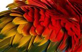 Close-up on a Scarlet Macaw feathers (4 years old) isolated on w — Stock fotografie