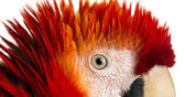 Close-up on a Scarlet Macaw's eye (4 years old) isolated on whit — Zdjęcie stockowe