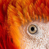 Close-up on a Scarlet Macaw's eye (4 years old) isolated on whit — 图库照片