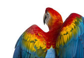 Rear view close-up of a Scarlet Macaw its wings deployed (4 year — 图库照片