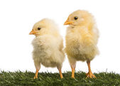 Two Chicks (8 days old) standing in grass — Stock Photo