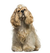 American Cocker Spaniel (1 year old) — Stock Photo