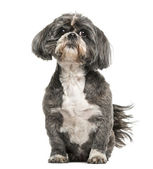 Shih Tzu (7 years old) — Stock Photo
