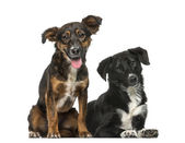 Two Crossbreeds — Stock Photo