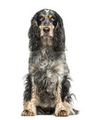 English Springer Spaniel (7 years old) — Stockfoto