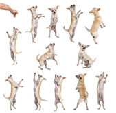 Collection of 12 Chihuahuas, differents position, isolated on wh — Stock Photo