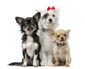 Group of Crossbreed dog and chihuahuas — Stock Photo