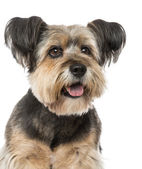 Close-up of a Crossbreed  (10 years old) — Stock Photo