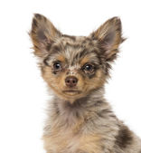 Close-up of a Chihuahua puppy (3 months old) — Stock Photo