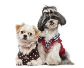 Shih Tzu (1 year old) and Crossbreed — Stock Photo