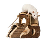 Rat (8 months old) standing on a mouse house — Stock Photo