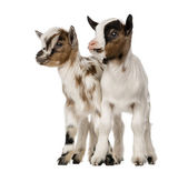 Two Young domestic goats, kids, isolated on white — Stock Photo