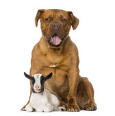 Young domestic goat and a Dogue de Bordeaux — Stock Photo