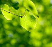 Green leaves in sunlight — Stock Photo