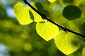 Verde foglia al sole nella foresta — Foto Stock