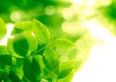 Green leaves in sunbeams — Stock Photo