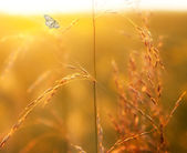 Prairie grass and butterfly in light of the setting sun — Stock Photo