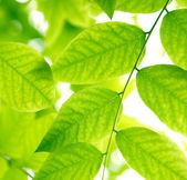 Zielone liście przed światło słoneczne — Zdjęcie stockowe