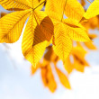 Autumn chestnut leaves in sunlight — Stock Photo