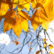 Autumn chestnut leaves in sunshine - Stock Photo