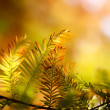 Autumn fir branch in the sunlight — Stock Photo