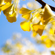 Autumn ginkgo leaves  against sky — Stock Photo