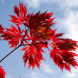 Autumn maple leaves against the sky — Stock Photo