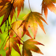 Stock Photo: Autumn maple leaves in the sunlight