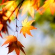 Autumn maple leaves in sunlight — Stock Photo