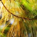 Autumn spruce in the sunlight — Stock Photo