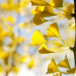 Autumn yellow ginkgo leaves against sky — Stock Photo
