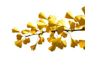 Autumn Ginkgo branch on a white background — Stock Photo