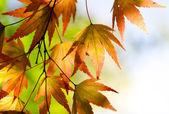 Autumn maple leaves in the sunlight — Stock Photo