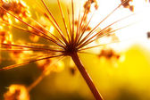 Dry stems of wild autumn flowers in sunlight — Stock Photo