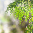 Juniper branches in  the sunlight - Stock Photo