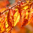 Multicolored autumn leaves in sunlight - Stock Photo