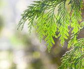 Juniper branches in the sunlight — Stock Photo