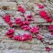Red leaves of ivy on  stone wall - Stock Photo