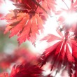Red maple leaves in the sunlight — Stock Photo