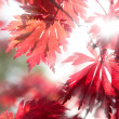 Red maple leaves in the sunlight - Stock Photo