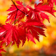 Red maple leaves in sunlight - Stock Photo