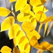 Yellow autumn leaves in sunlight - Stock Photo
