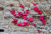 Red leaves of ivy on stone wall — Stock Photo